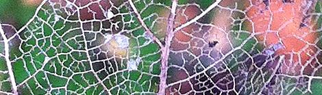 Saw this leaf